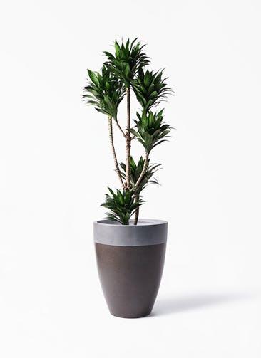 観葉植物 ドラセナ コンパクター 8号 ファイバーストーン カプリ マッドブラウン 付き
