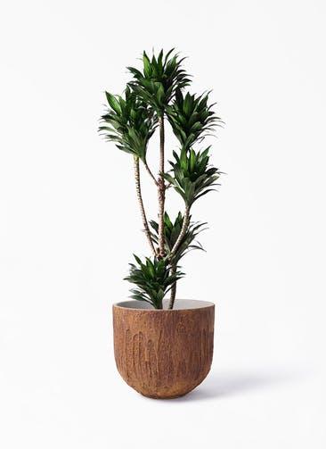 観葉植物 ドラセナ コンパクター 8号 バル ユーポット ラスティ  付き