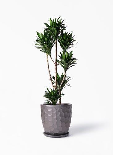 観葉植物 ドラセナ コンパクター 8号 サンタクルストール ブロンズ 付き