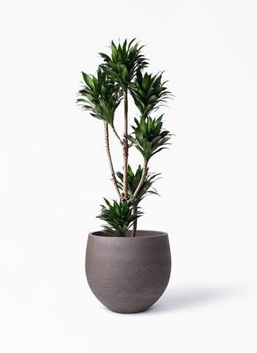 観葉植物 ドラセナ コンパクター 8号 アディラボウル 濃茶 付き