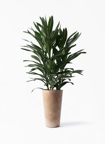 観葉植物 ドラセナ グローカル 8号 アートストーン トールラウンド ベージュ 付き