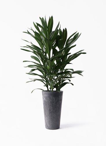 観葉植物 ドラセナ グローカル 8号 アートストーン トールラウンド ブラック 付き