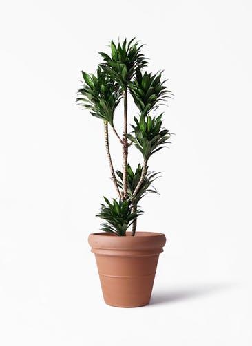 観葉植物 ドラセナ コンパクター 8号 トスカーナ リムポット 付き