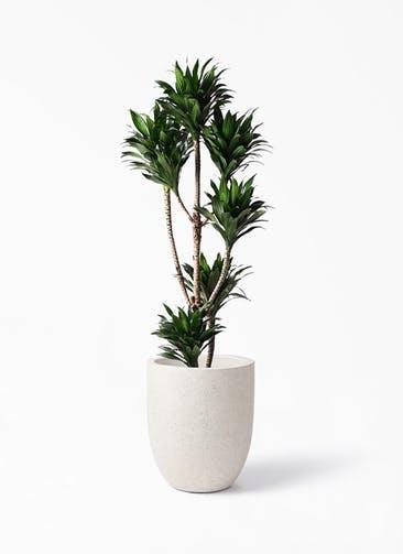 観葉植物 ドラセナ コンパクター 8号 フォリオアルトエッグ クリーム 付き