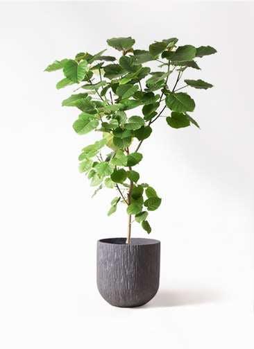 観葉植物 フィカス ウンベラータ 10号 ノーマル カルディナダークグレイ 付き
