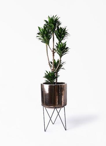 観葉植物 ドラセナ コンパクター 8号 ビトロ エンデカ ゴールド アイアンポットスタンド ブラック  付き