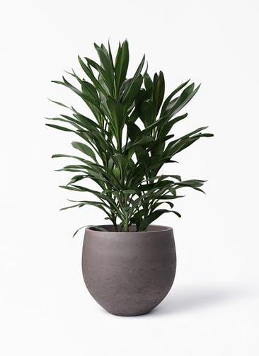 観葉植物 ドラセナ グローカル 8号 アディラボウル 濃茶 付き