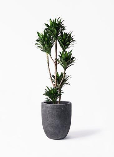 観葉植物 ドラセナ コンパクター 8号 フォリオアルトエッグ ブラックウォッシュ 付き