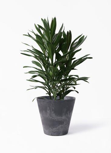 観葉植物 ドラセナ グローカル 8号 アートストーン ラウンド ブラック 付き