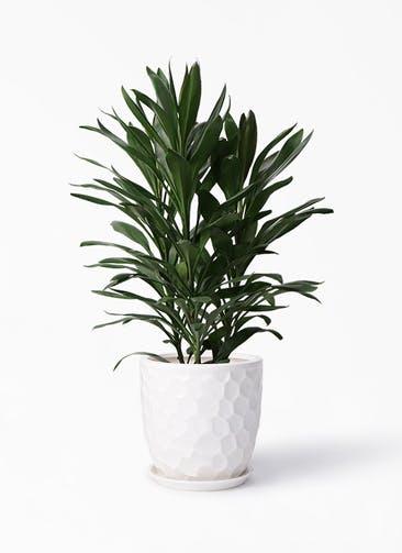 観葉植物 ドラセナ グローカル 8号 サンタクルストール 白 付き