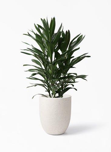 観葉植物 ドラセナ グローカル 8号 フォリオアルトエッグ クリーム 付き