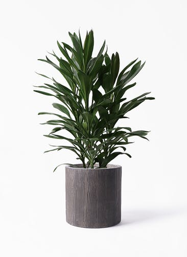 観葉植物 ドラセナ グローカル 8号 アルファ シリンダープランター ウッド 付き