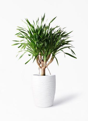 観葉植物 ドラセナ パラオ 8号 サン ミドル リッジ 白 付き