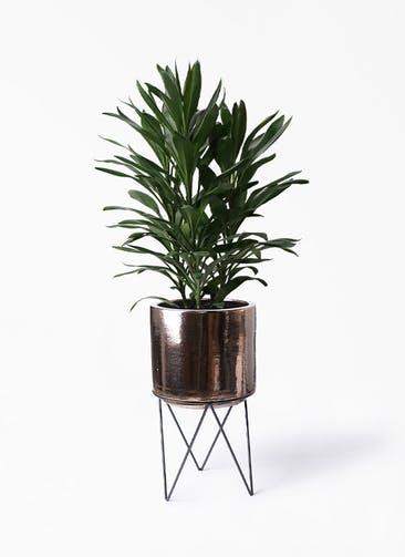 観葉植物 ドラセナ グローカル 8号 ビトロ エンデカ ゴールド アイアンポットスタンド ブラック  付き
