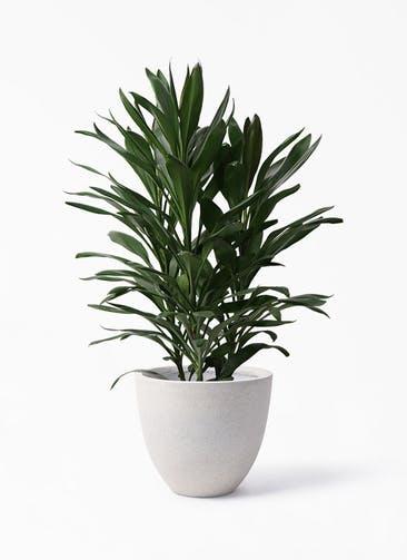 観葉植物 ドラセナ グローカル 8号 スタウト アッシュラウンド 付き