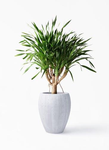 観葉植物 ドラセナ パラオ 8号 コーテス ジャー ホワイトウォッシュ 付き