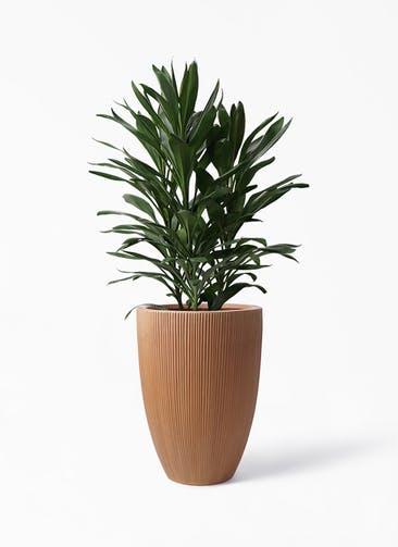 観葉植物 ドラセナ グローカル 8号 リブラ モノ ラスティ 付き