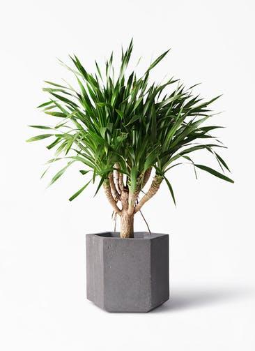 観葉植物 ドラセナ パラオ 8号 コーテス ヘックス 灰 付き
