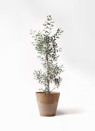 観葉植物 オリーブの木 8号 チプレッシーノ アートストーン ラウンド ベージュ 付き