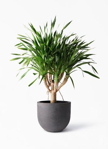 観葉植物 ドラセナ パラオ 8号 コンカー ラウンド 付き
