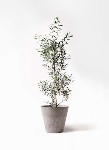 観葉植物 オリーブの木 8号 チプレッシーノ アートストーン ラウンド グレー 付き