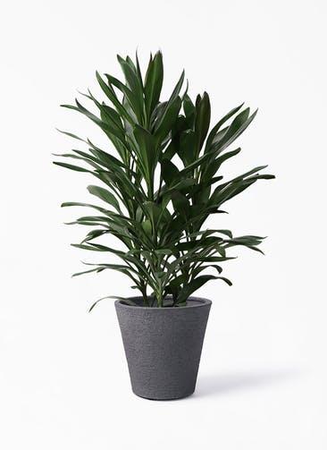 観葉植物 ドラセナ グローカル 8号 ビアスソリッド ブラック 付き