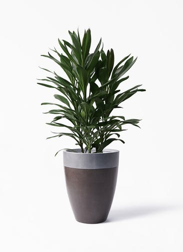 観葉植物 ドラセナ グローカル 8号 ファイバーストーン カプリ マッドブラウン 付き