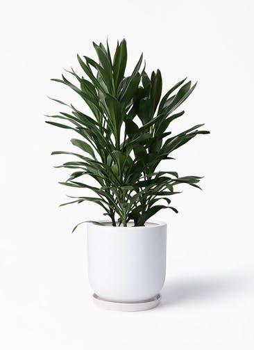 観葉植物 ドラセナ グローカル 8号 アファール 白 付き
