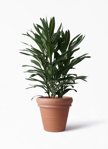 観葉植物 ドラセナ グローカル 8号 トスカーナ リムポット 付き