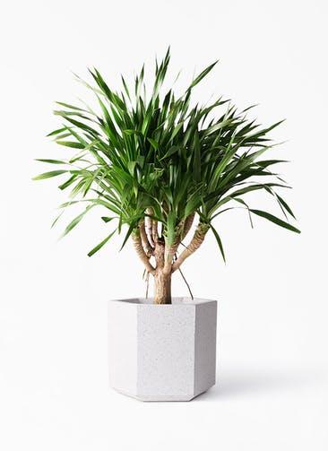 観葉植物 ドラセナ パラオ 8号 コーテス ヘックス ホワイトテラゾ 付き