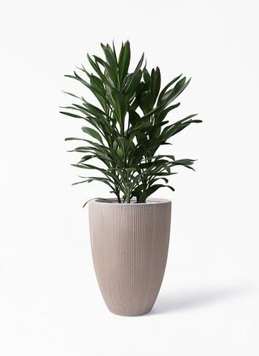 観葉植物 ドラセナ グローカル 8号 リブラ モノ ブラウン 付き