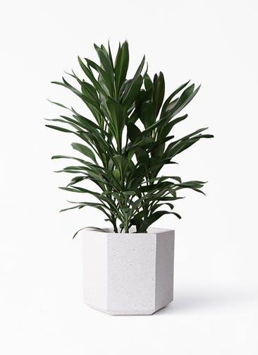 観葉植物 ドラセナ グローカル 8号 コーテス ヘックス ホワイトテラゾ 付き
