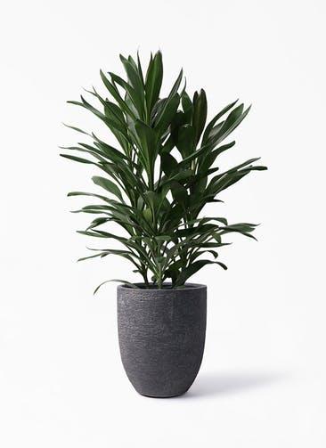 観葉植物 ドラセナ グローカル 8号 ビアスアルトエッグ ブラック 付き