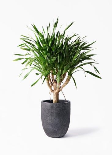 観葉植物 ドラセナ パラオ 8号 フォリオアルトエッグ ブラックウォッシュ 付き
