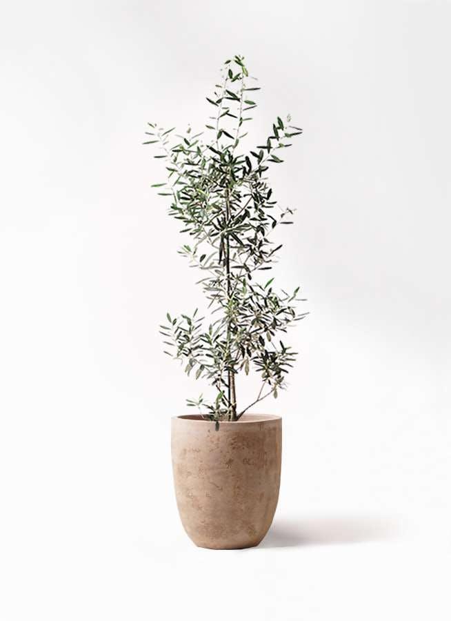 観葉植物 オリーブの木 8号 チプレッシーノ ルーガ アンティコ アルトエッグ 付き