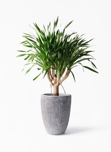 観葉植物 ドラセナ パラオ 8号 アビスソニア トール 灰 付き