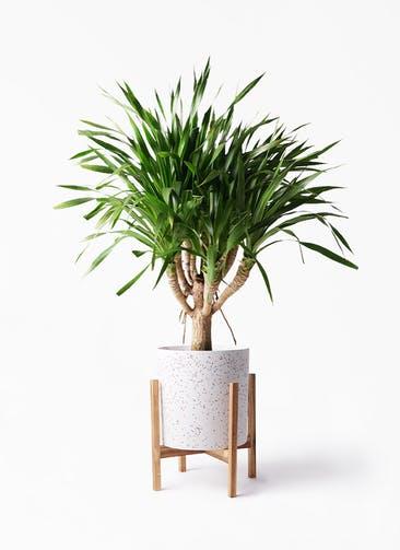 観葉植物 ドラセナ パラオ 8号 ホルスト シリンダー スパークルホワイト ウッドポットスタンド 付き