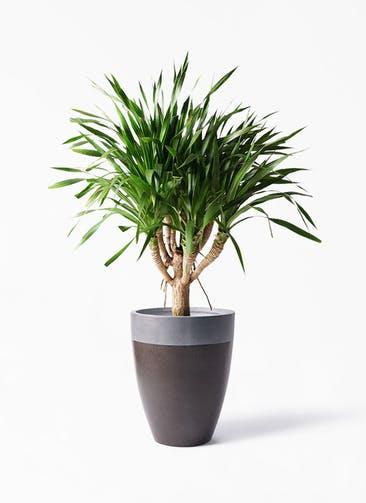観葉植物 ドラセナ パラオ 8号 ファイバーストーン カプリ マッドブラウン 付き