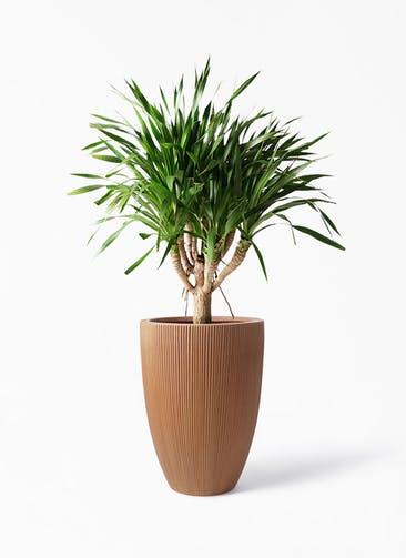 観葉植物 ドラセナ パラオ 8号 リブラ モノ ラスティ 付き