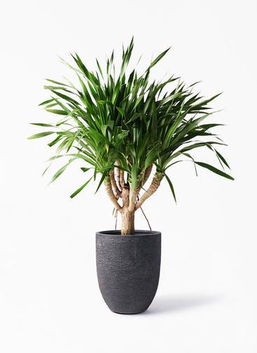 観葉植物 ドラセナ パラオ 8号 ビアスアルトエッグ ブラック 付き