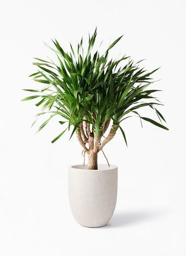 観葉植物 ドラセナ パラオ 8号 フォリオアルトエッグ クリーム 付き