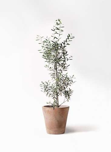 観葉植物 オリーブの木 8号 チプレッシーノ ルーガ アンティコ ソリッド 付き