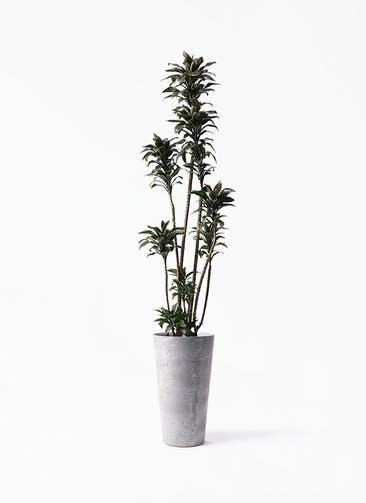観葉植物 ドラセナ パープルコンパクタ 8号 アートストーン トールラウンド グレー 付き