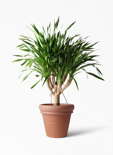 観葉植物 ドラセナ パラオ 8号 トスカーナ リムポット 付き