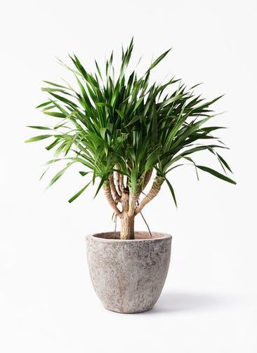 観葉植物 ドラセナ パラオ 8号 アビスソニア ラウンド 付き