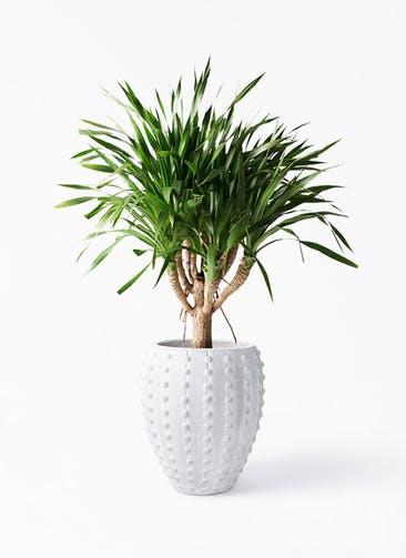 観葉植物 ドラセナ パラオ 8号 コーテス ジャー エキノス 付き