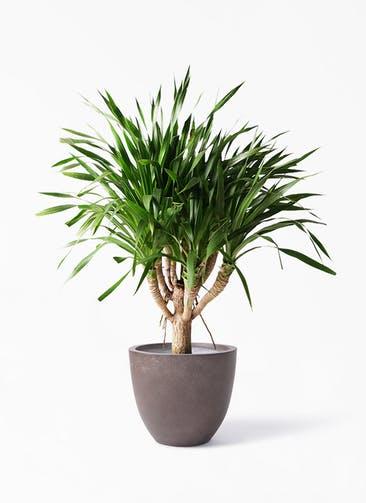 観葉植物 ドラセナ パラオ 8号 エルム ラウンド ブラウン 付き