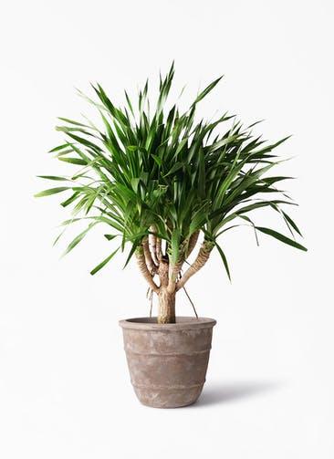 観葉植物 ドラセナ パラオ 8号 テラアストラ シリウス 付き
