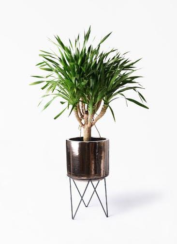 観葉植物 ドラセナ パラオ 8号 ビトロ エンデカ ゴールド アイアンポットスタンド ブラック  付き