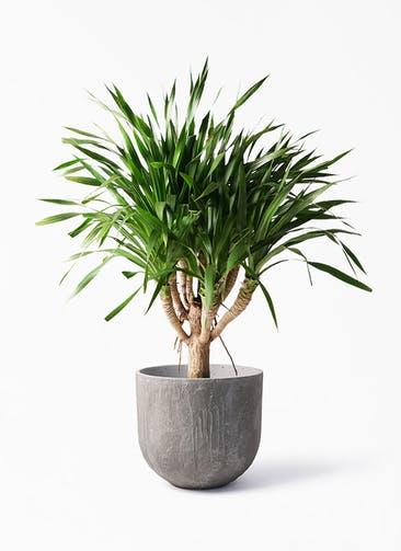 観葉植物 ドラセナ パラオ 8号 バル ユーポット アンティークセメント 付き